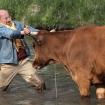 la-vache-2